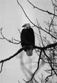 Alaska's Bald Eagle: New Threats to Survival